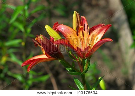 Closeup orange red Lily flowers in a garden Macro shot Pistil and stamen and bud