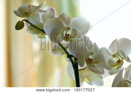 beautiful tender white Phalaenopsis orchid flowers on light background