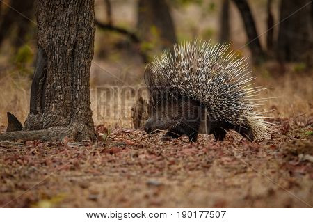 Porcupine in the nature habitat. Indian porcupine in the dayilight. Wildlife scene with very rare and elusive animal. Nocturnal animal in the beautiful indian forest. Hystrix indica