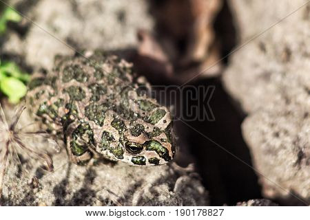 European green toad (Bufo viridis) sitting on the sand, selective focus . The common toad on nature background.