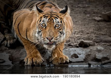 Tiger in the nature habitat. Tigers male walking, resting, eating, stalking. Wildlife scene with danger animal. Hot summer in Rajasthan, India. Dry trees with beautiful indian tiger, Panthera tigris