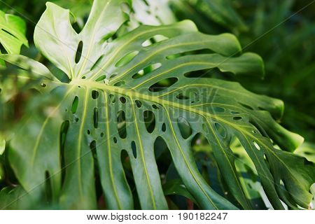 Closeup Of Leaf With Holes Of Green Plant