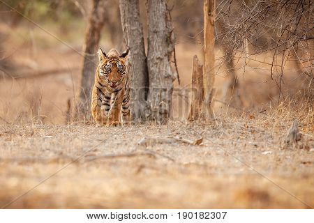 Tiger in the nature habitat. Tigers walking, resting, eating, playing, standing. Wildlife scene with danger animal. Hot summer in Rajasthan, India. Dry trees with beautiful indian tiger, Panthera tigris