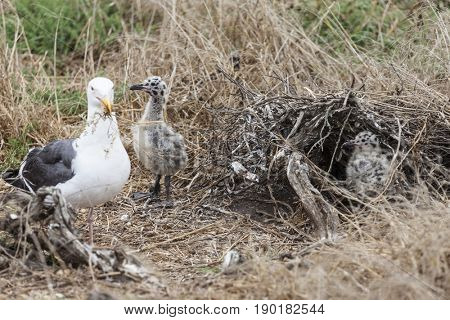 Seagull chicks with nest building mother at Anacapa Island in Channel Islands National Park in Southern California.