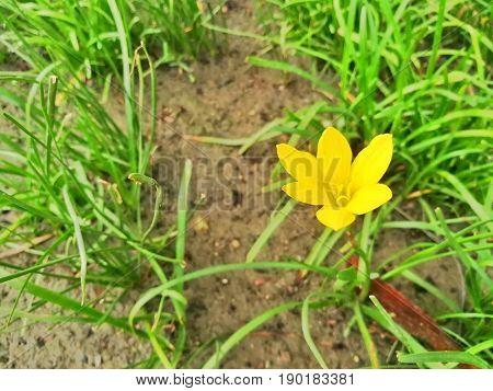 Yellow flower, Zephyranthes Citrina, in the garden