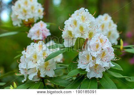 Rhododendron beautiful flower. Latvian University Rhododendron nursery