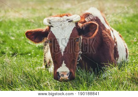 A young Cow grazing in a meadow. Middle-up isolated on a green background