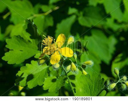 Flower of greater celandine or tetterwort Chelidonium majus macro selective focus shallow DOF.