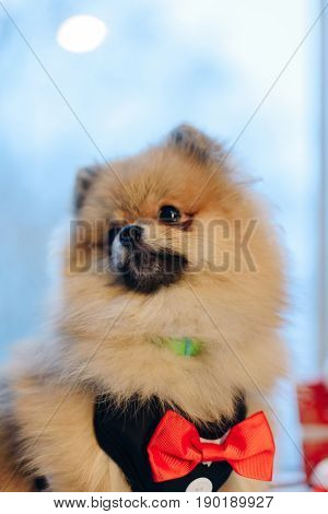 Cute portrait of German Spitz looking at somewhere else