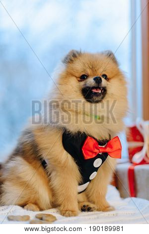 Lovely German Spitz is dressed in modern suit and sitting on the window-sill near the colourful presents, Close-up portrait