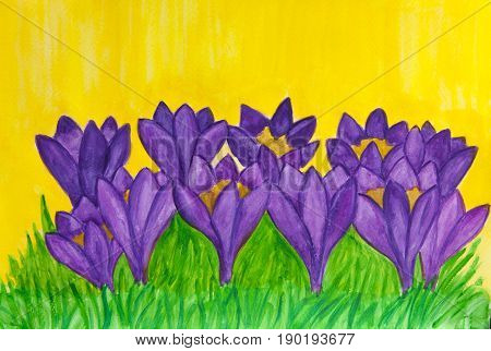 Purple crocuses on yellow background, illustration watercolor.