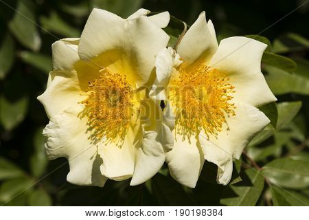 Two yellow and white rose flowers under the sun