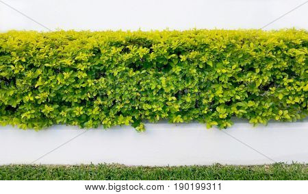 Abstract green hedge and white wall