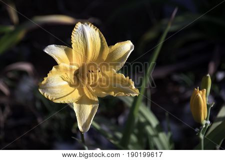 Yellow lily flower head close-up in foliage