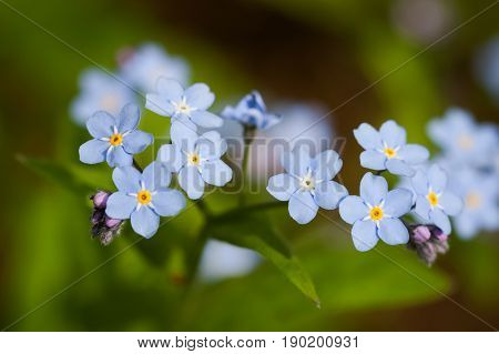 Blue Flowers Forget-Me-Nots (Myosotis)Growing In Spring Garden Close Up.