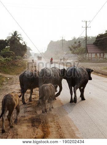 Water buffalos walking on rural road