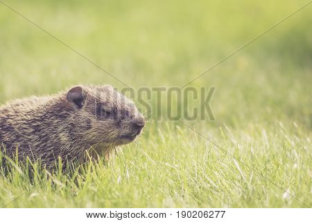 Adorable baby groundhog (Marmota Monax) with eyes closed and room for text
