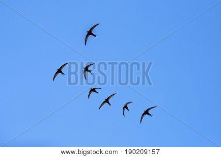 Black barn swallow birds flying in the blue sky in Moldova