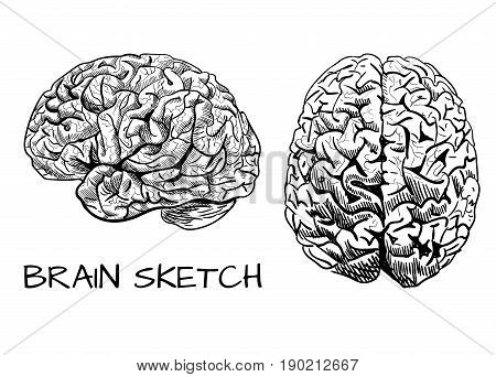 Brain sketch. VECTOR colored hand drawn human brain. Line work, pink. Front and side view. Black lines drawing.