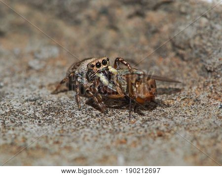 Image of a tiny spider eating prey it captured