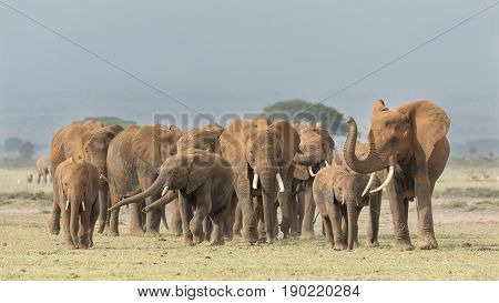 A large herd of African Elephants crosses open ground in Kenya;s Amboseli National Park