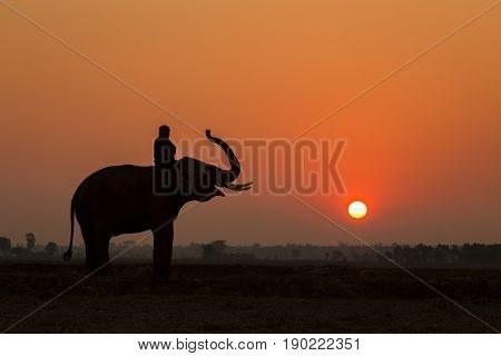 Silhouette elephant action and mahout in sunset time on the field this is a lifestyle Thai people and elephant in Northeast and North of Thailand