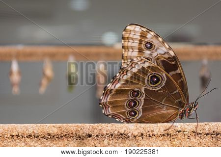 Close-up of a brown butterfly whose wings have small circles resting on a cork stick.Behind the butterfly you will see cocoons of butterflies.