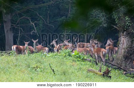 Red Deer Herd In Forest