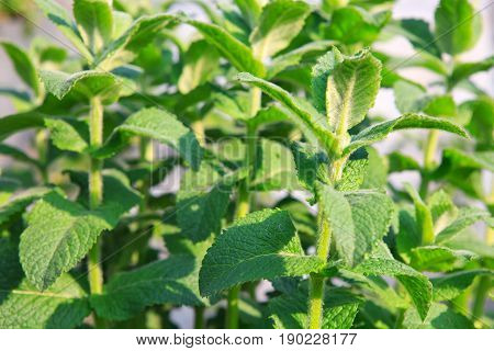 Mint plant grow at vegetable garden. Close up view of a peppermint plant.
