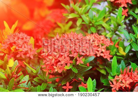 Ixora red flower spike in nature with sunset light (Common Name Ixora chinensis Rubiaceae) poster