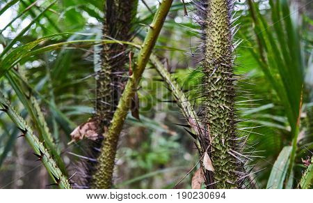 Spiny Trees In The Rainforest Of Koh Phangan