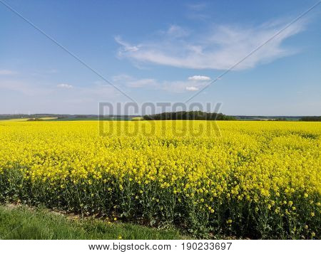 A rapeseed field in the foreground and in the background the wooded hill of the Erzgebirge in Saxony, Germany