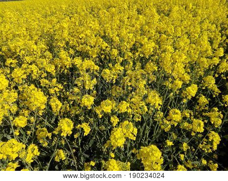 view in a rapeseed field, yellow flowers of rapeseed plants, close-up