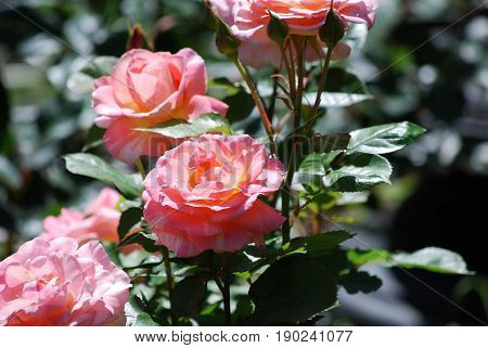 Blooming pale pink roses flowering in a rose garden.