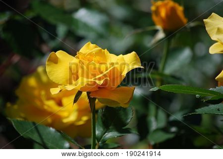 Pretty flowering yellow rose bush in a rose garden.