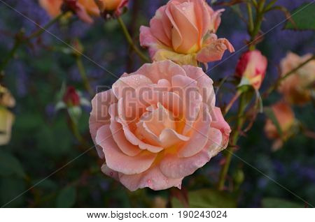 Peach rose with dew drops clinging to the petals.
