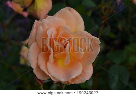 Rose garden with a blooming peach rose bush.