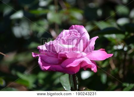Garden with a blooming pink rose blossom in a rose garden.