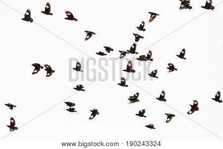 White-vented Myna or starlings flying in the sky.