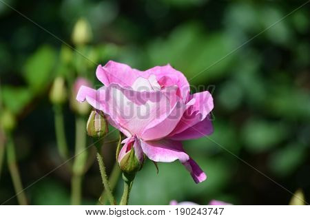 Very pretty pink rose blossom and rosebud on a rose bush.