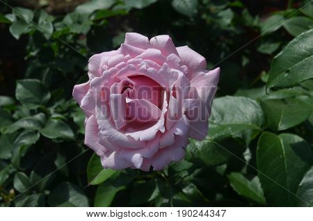 Rose garden with a gorgeous flowering pink rose blossom.