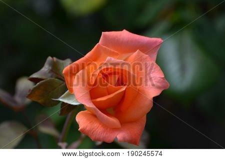Garden with blooming orange rose blossom in a garden.