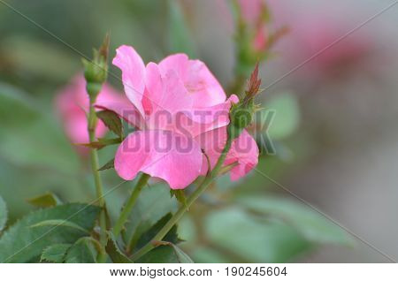 Pretty blooming pale pink rose bud and rose blossom in a garden.