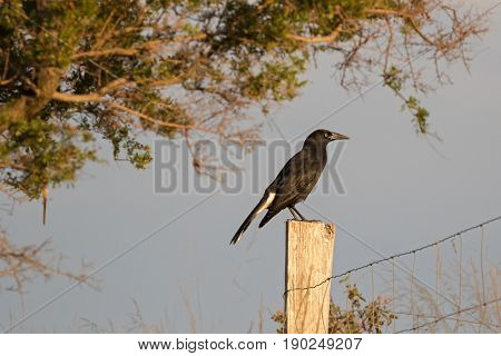 Side profile of Currawong black passerine bird with yellow eyes (known as crow-shrikes, bell-magpies) perching on wooden pole during sunset, Autumn in Tasmania, Australia