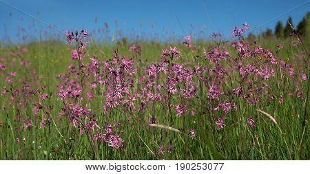 Wildflowers - Lychnis Flos Cuculi