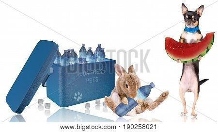 Cute dog chihuahua want fresh cool watermelon and cute bunny want a fresh cool water from the cooler