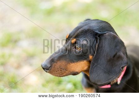 Headshot Of Black Puppy Dachshund Marking In The Side