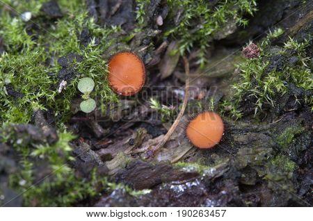 Scutellinia sp. fungus close up shot local focus