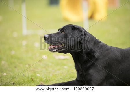 Dog black Labrador Retriever lying down on grass