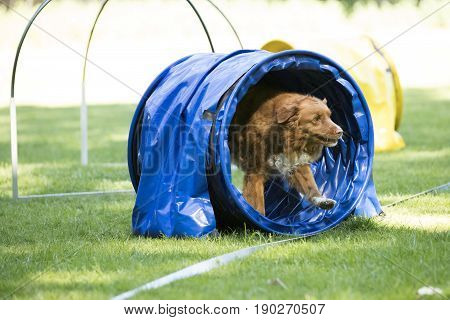 Dog Nova Scotia duck tolling retriever running through agility tunnel hooper training